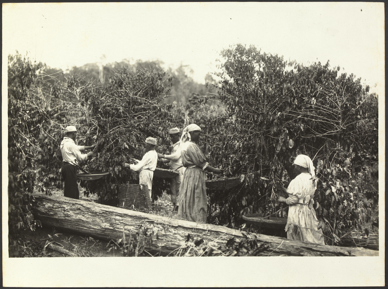 Black and white photo of women and men in head coverings picking beans from large coffee plants