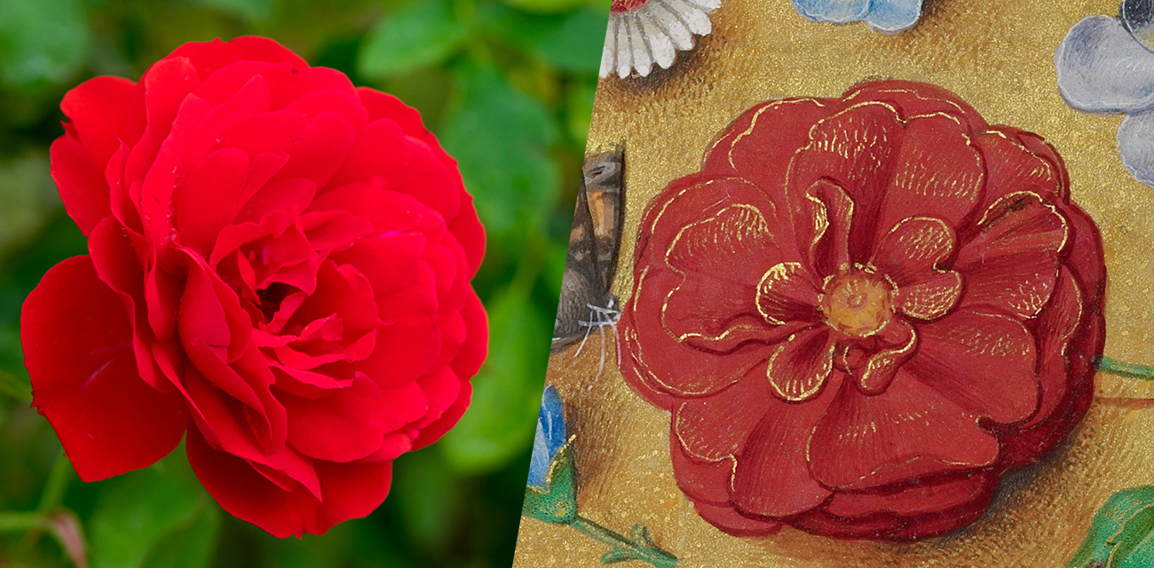 7 favorite flowers from renaissance manuscripts and their christian red rose form the gettys gardens and a red rose from a renaissance manuscript izmirmasajfo