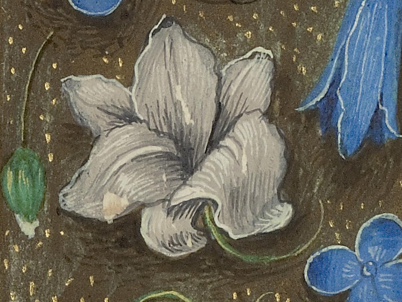 White lily flower detail in manuscript illustration