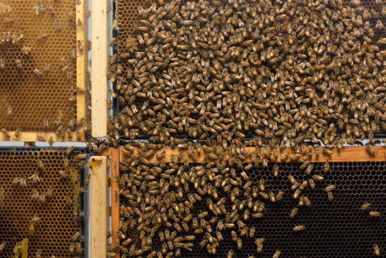 Bees cover a honeycomb in wooden frames.
