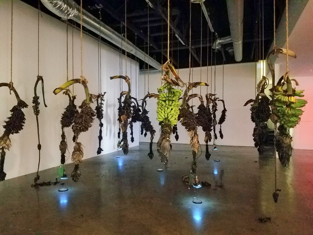 Branches of fresh and rotting bananas hang in a museum. Small video monitors attached to some branches point downward, with circular mirrors below them.