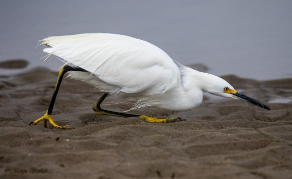 Crouching Egret