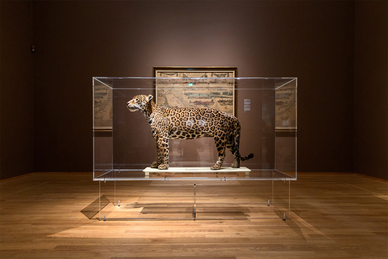A room in a museum contains a stuffed jaguar in a glass case. There is a map hanging on a wall behind the jaguar.