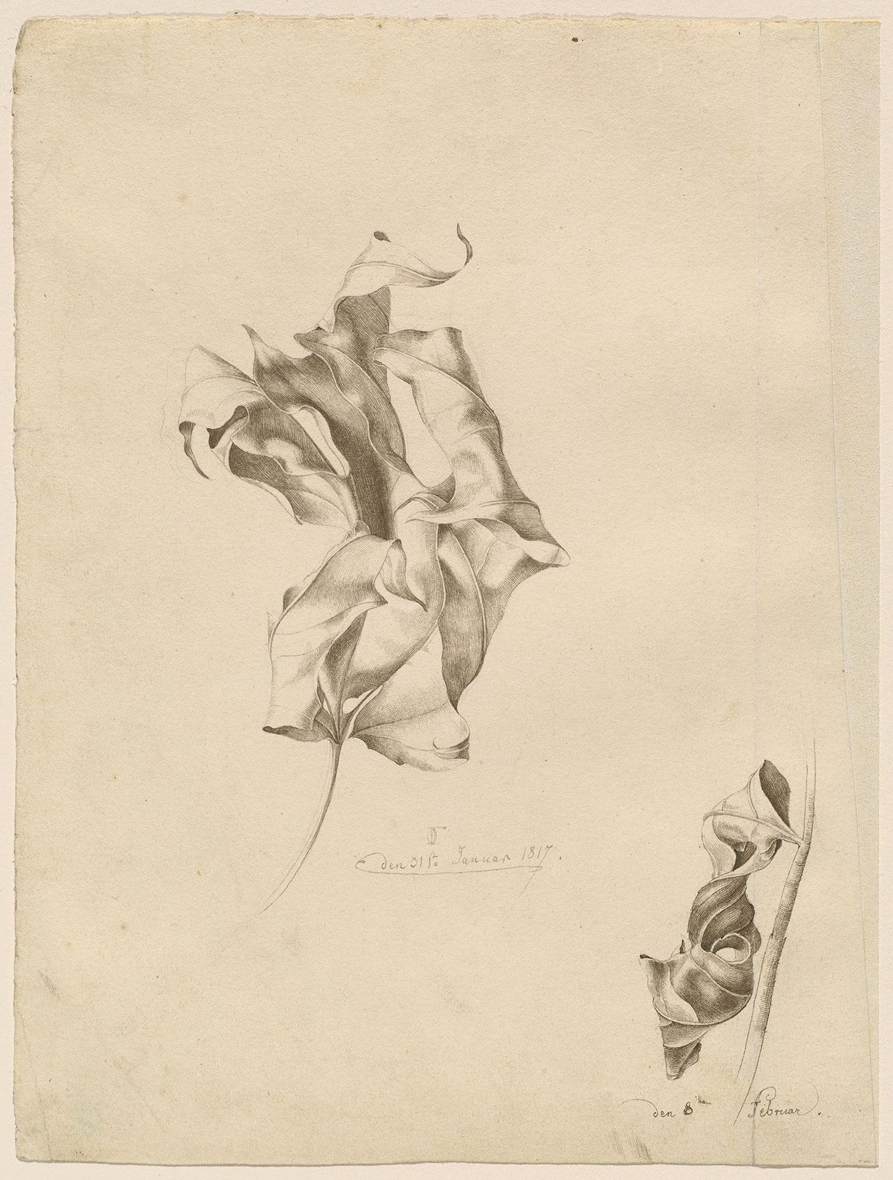 A cream-colored piece of paper holds two delicate sketches of dry, curled