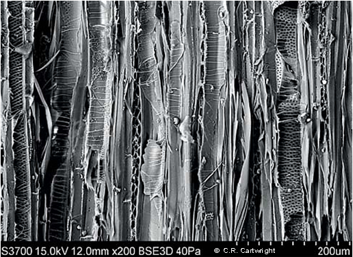A microscopic image of a type of wood.