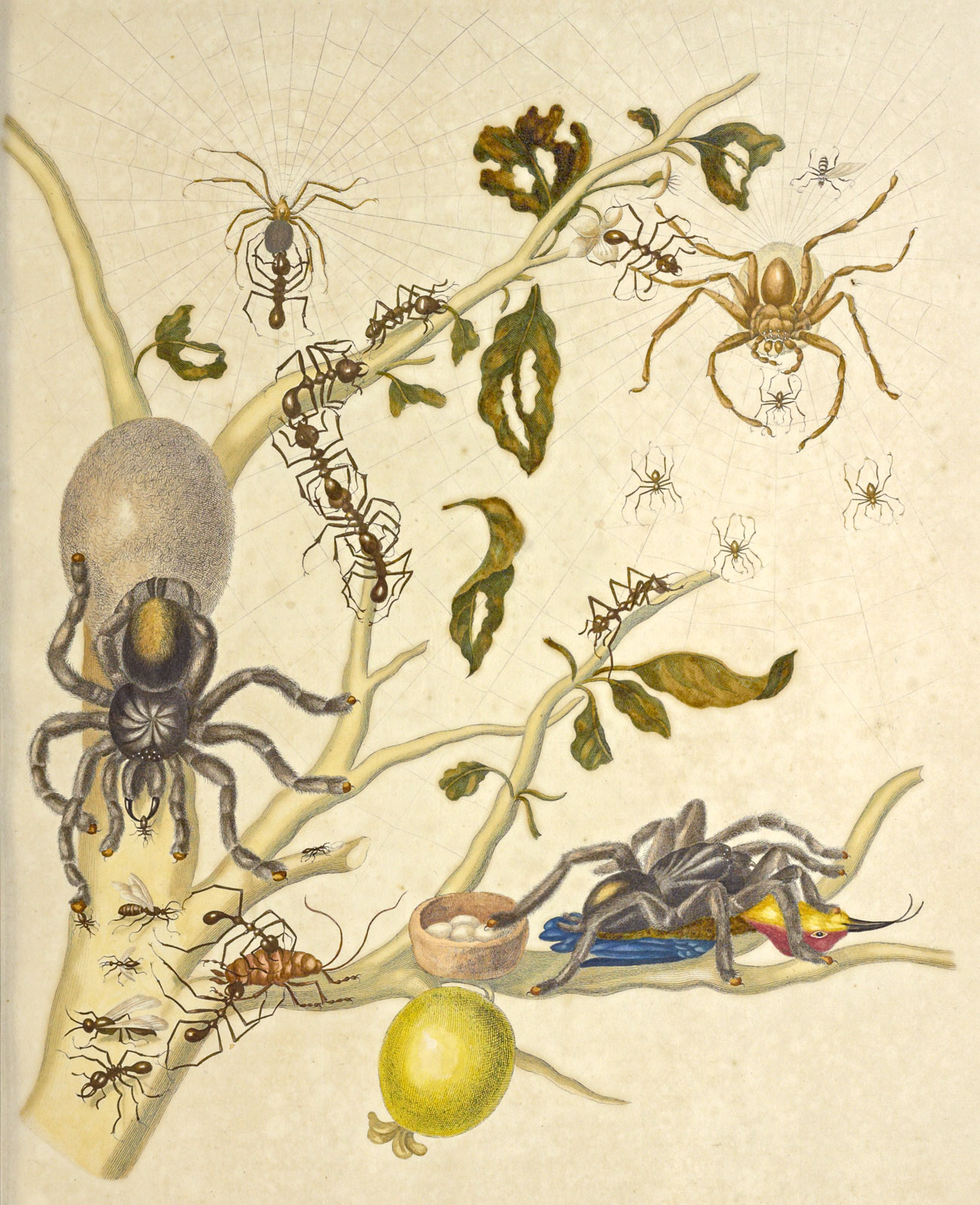 A branch with a guava hanging from it and a variety of bugs including tarantulas, and other spiders, ants, flies and a roach.