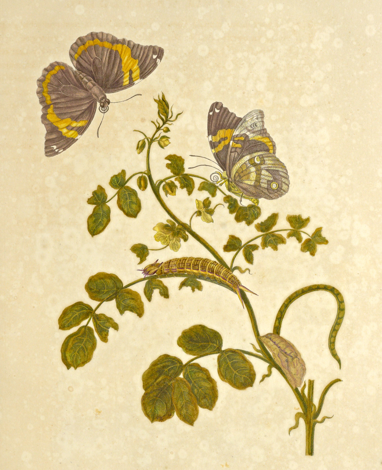 A branch with flowers hosts the various stages of a butterfly from caterpillar to pupa to butterfly