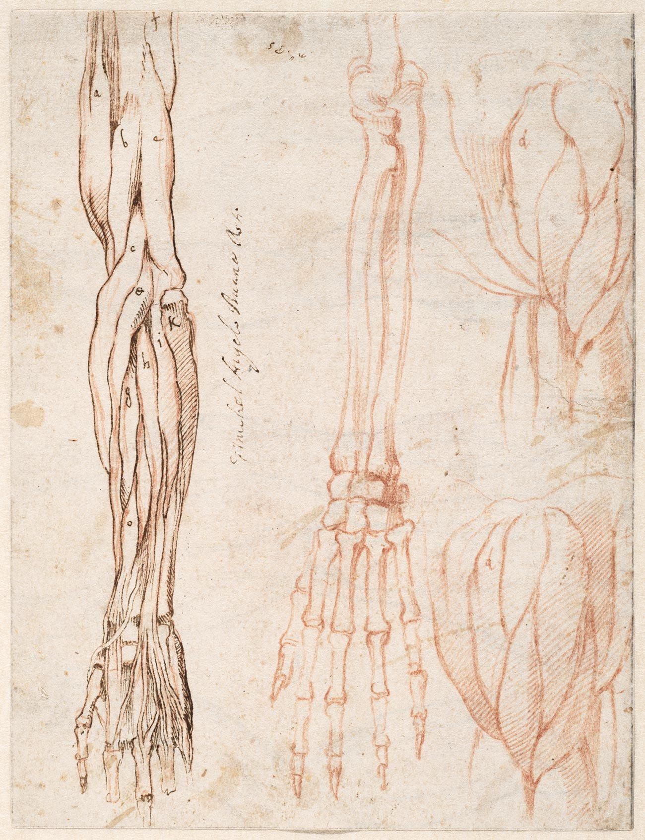 Anatomical sketches of arm and shoulder
