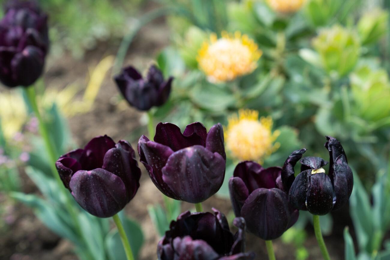 Close-up on dark, black-purple tulip flowers