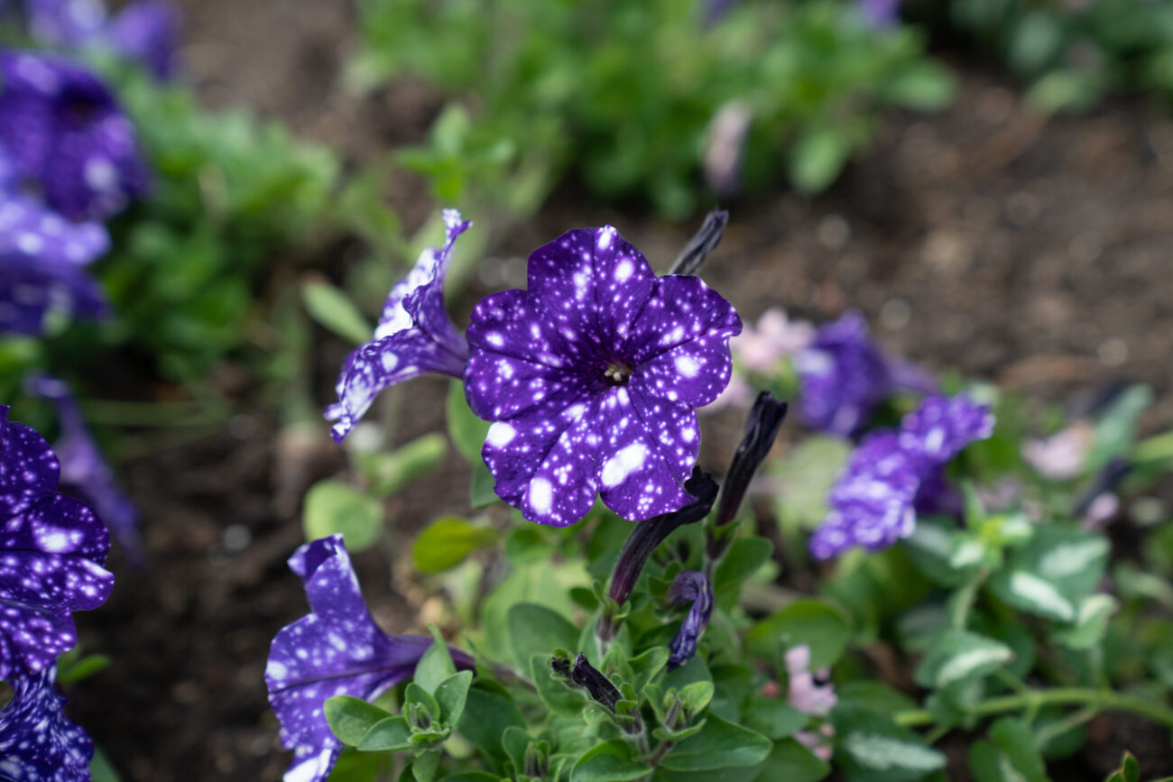 Close-up on delicate purple flowers dotted with white