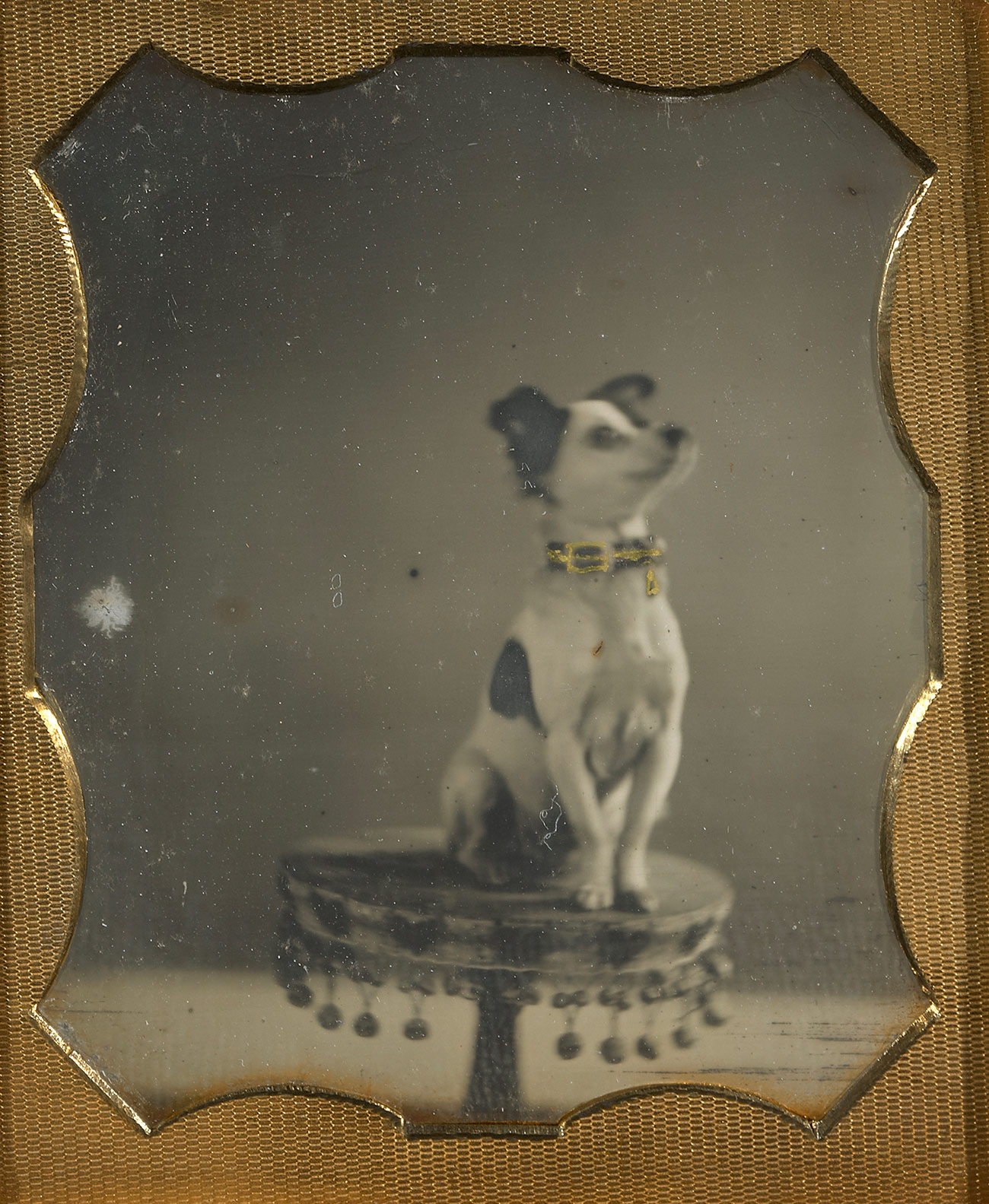 White dog with black markings and a thick collar sits at attention on a small table ringed with balled tassels.