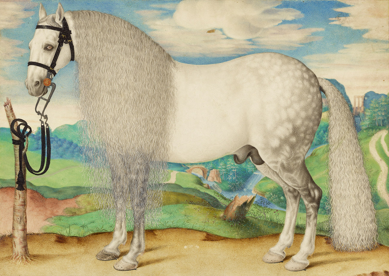 Large white horse with dappled gray hindquarters and a long mane and tail.