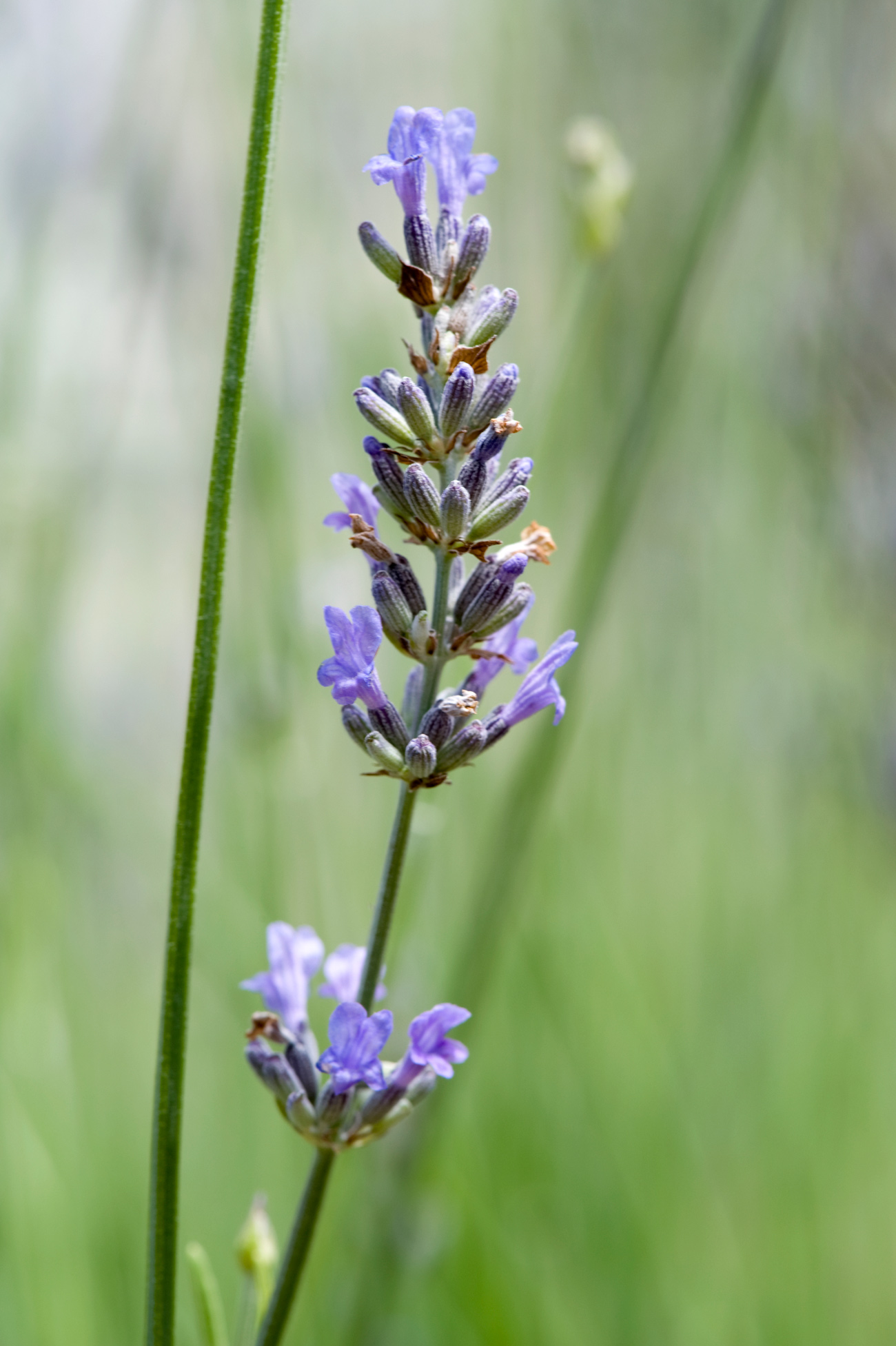 Lavender: Purple buds on a stalk