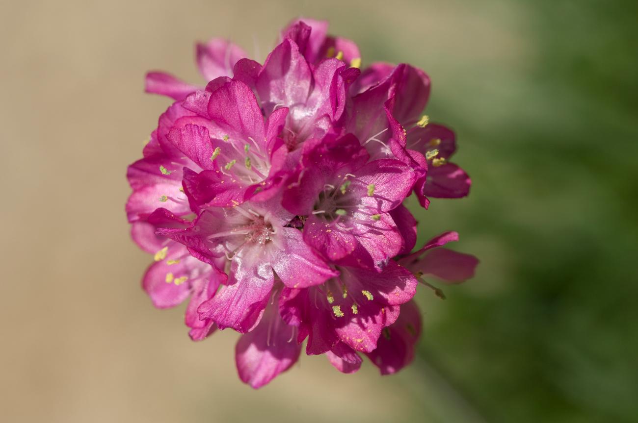 Sea Pink: Pink flower