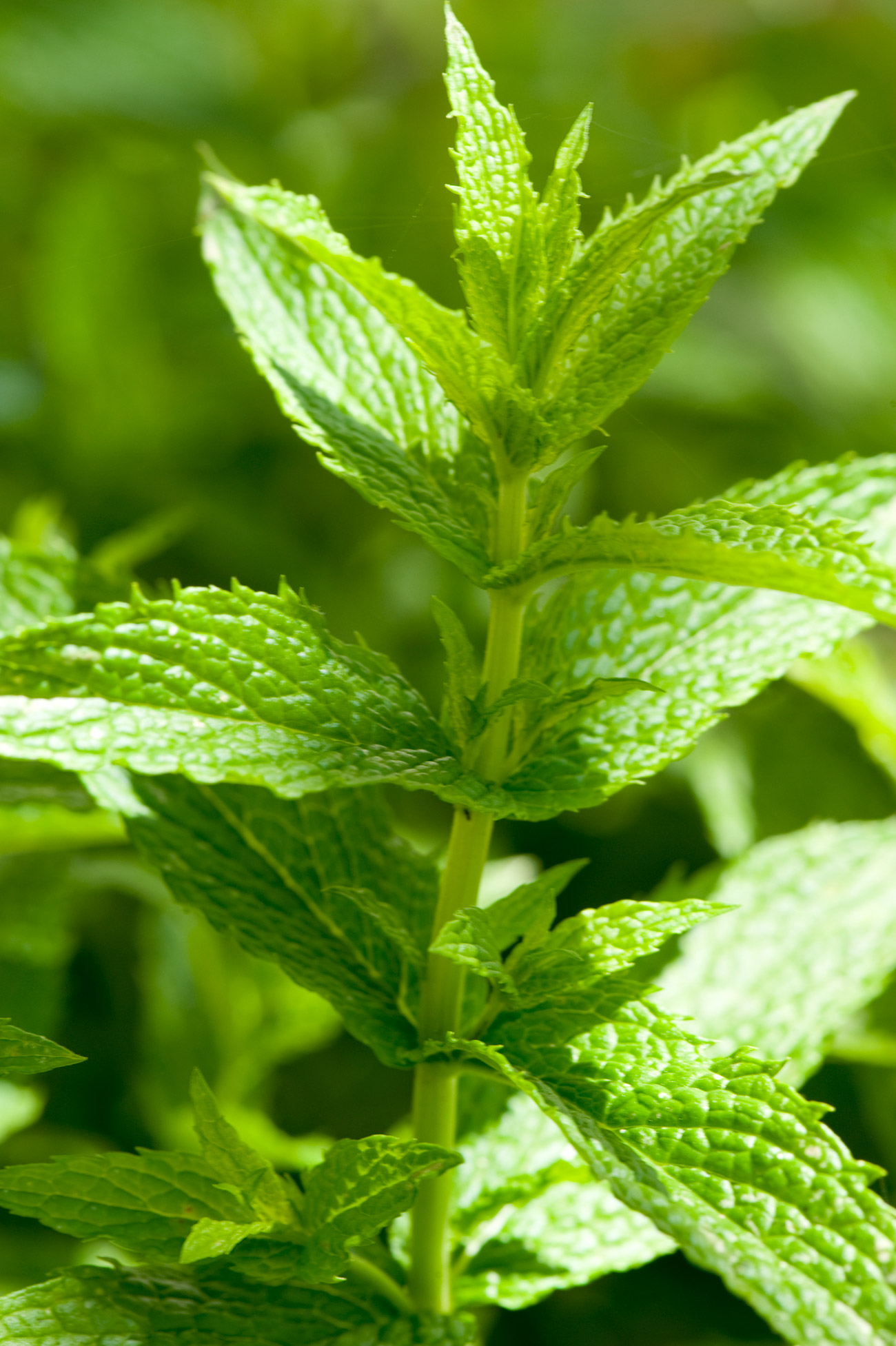 Spearmint: Green leafy plant
