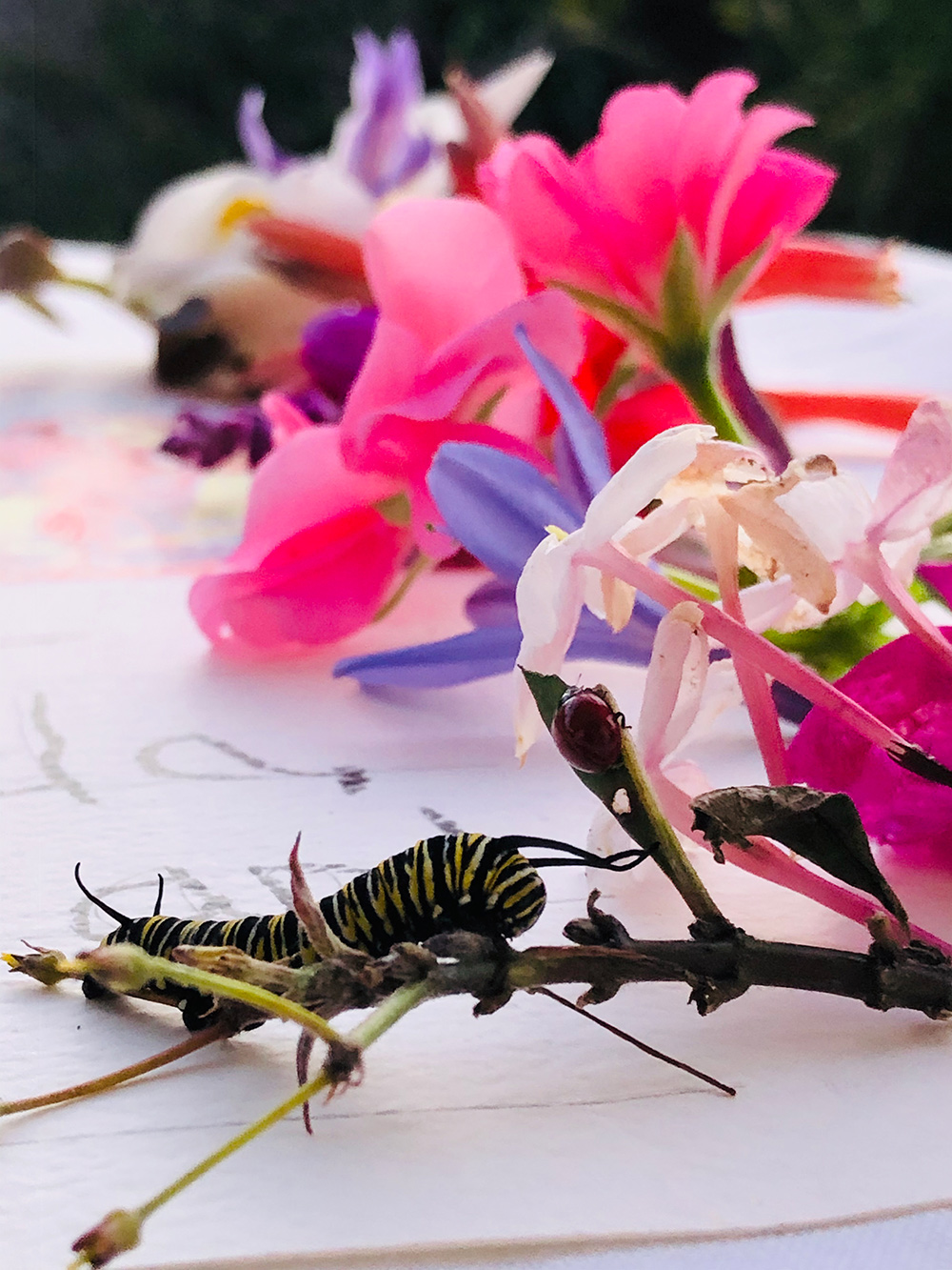 Black and yellow striped caterpillar on a branch with pinks flowers, resting on white paper