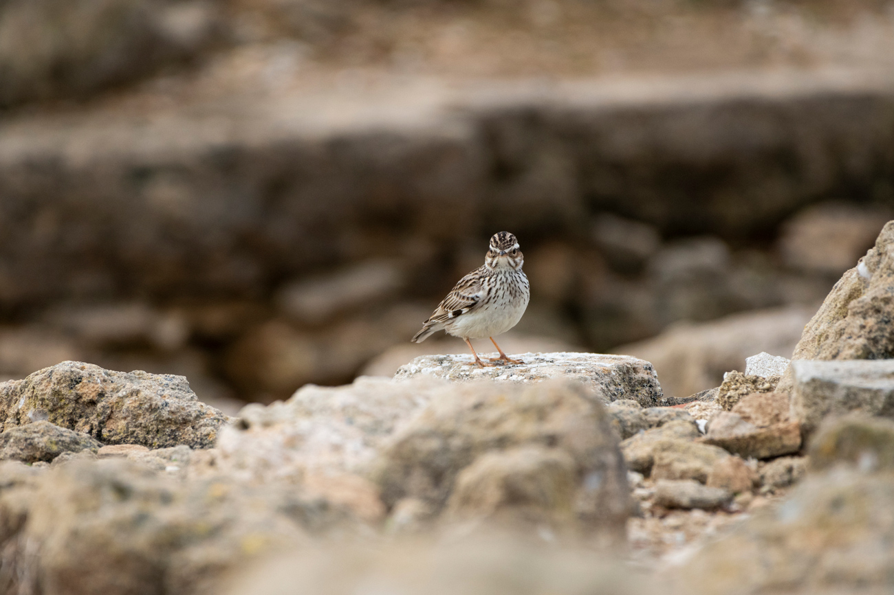 Small brown and white bird standing on rocks
