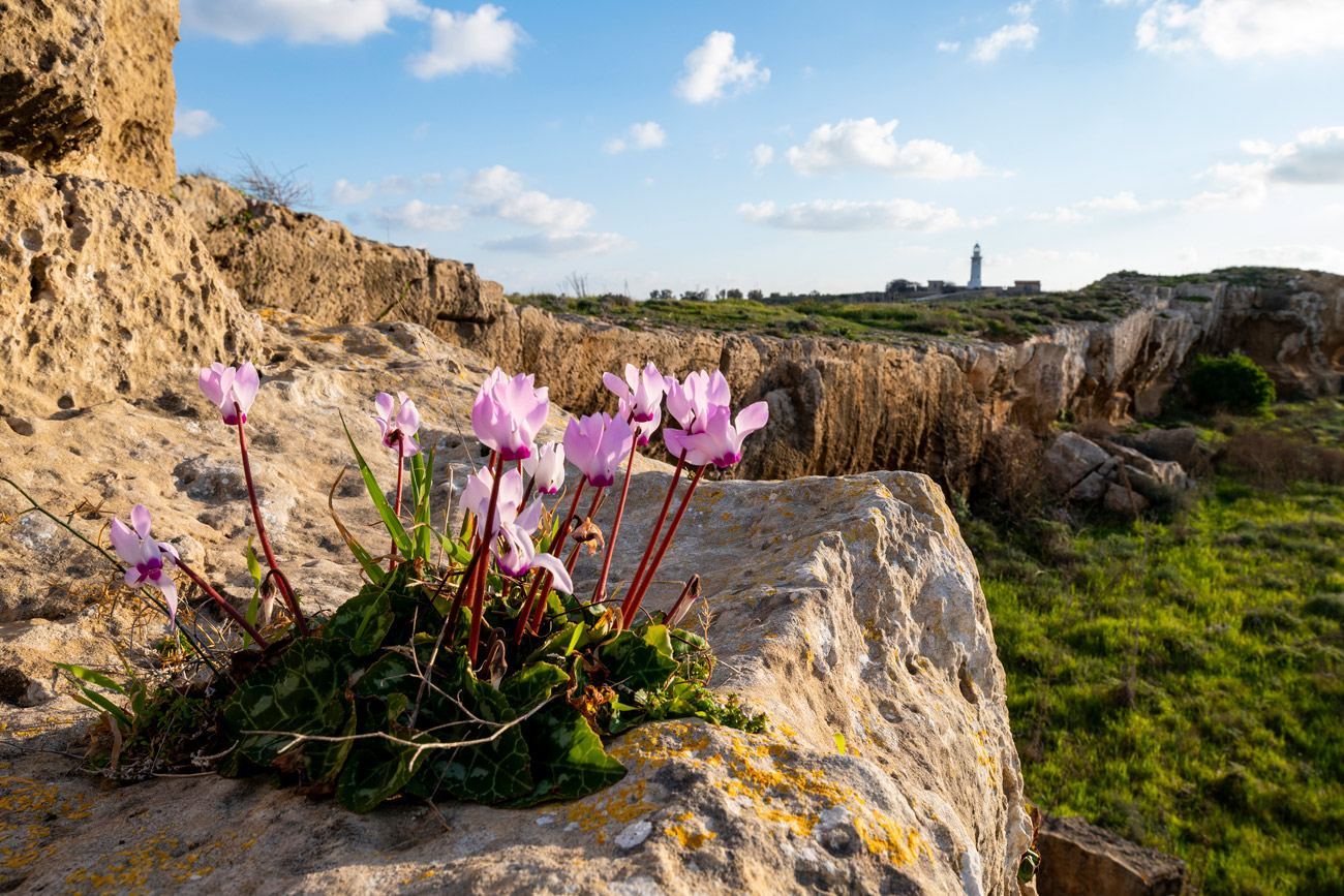 Pink flowers in the foreground, cliffs and a tall tower in the background
